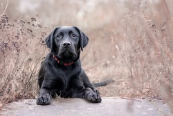 Labrador dog laying down between brown flowers, looking at the camera relaxed. Black lab. Labrador retriever.