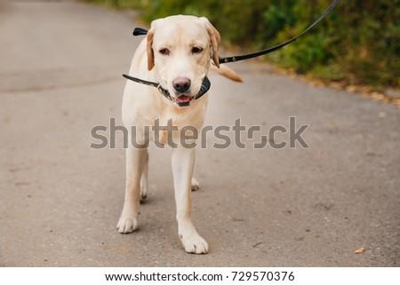 labrador Dog with collar on outdoor park autumn. #729570376