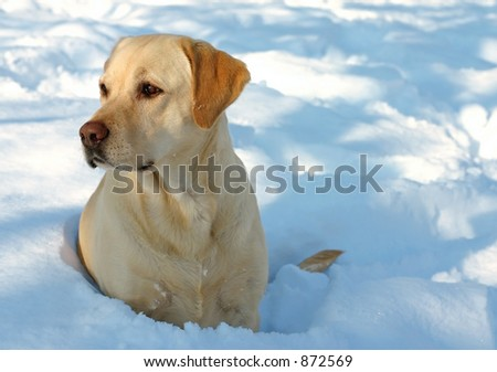 Labrador enjoying the snow