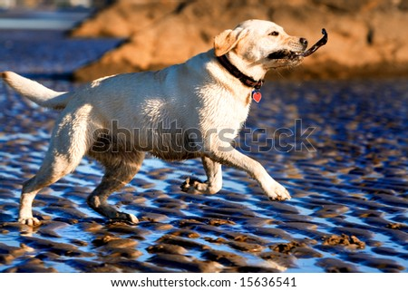 Labrador fetching a stick on the beach - stock photo