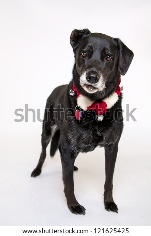Labrador, German shepherd,  border collie isolated on white with christmas collars