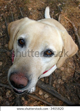 Labrador 03, hungry dog named Feline