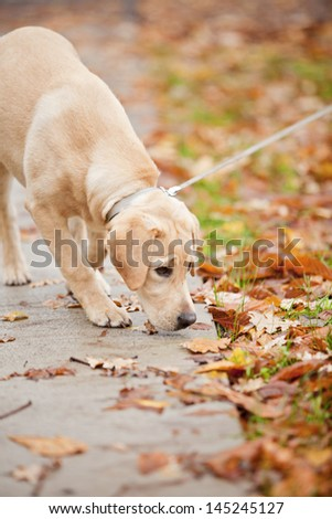 Labrador In autumn leaves