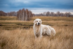 labrador in the autumn forest on a hunt walk