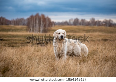 Photo of  labrador in the autumn forest on a hunt walk
