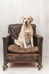 Labrador in vintage chair