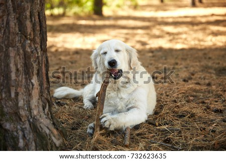 Labrador lies in the woods near the tree with a stick in his teeth. #732623635