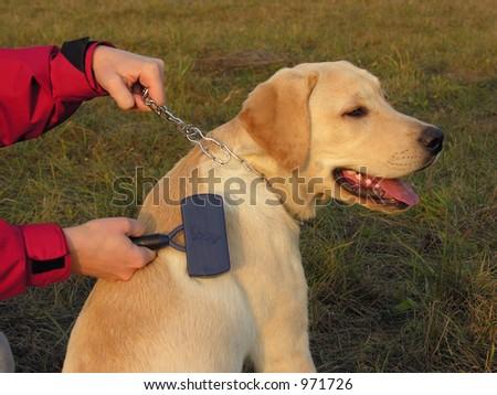 Labrador maintenance