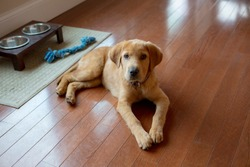 Labrador Mix Puppy laying on wooden floor next to bowl and chew toy