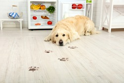 Labrador near fridge and muddy paw prints on wooden floor in kitchen