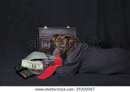 Labrador posing in studio wearing glasses, coat and tie