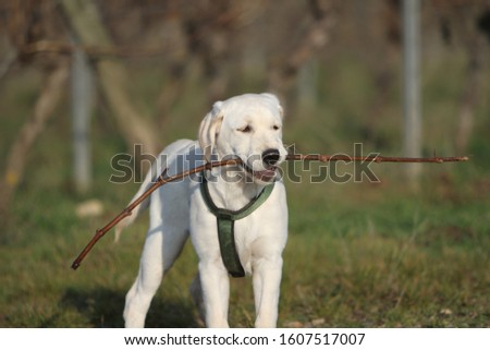 Labrador Puppie running and playing outdoors