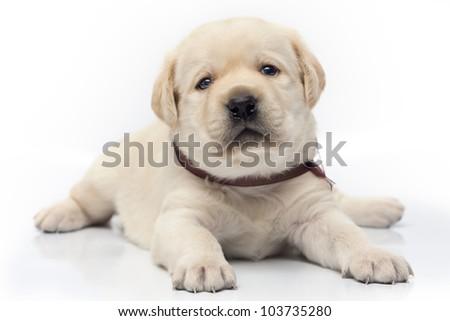 Labrador puppy