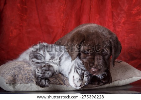Labrador puppy and kitten breeds Maine Coon. Cat and dog friends