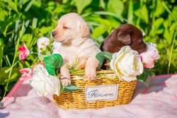 Labrador puppy dog, beautiful little dogs sitting asleep in a wicker basket with flowers. Young dogs breed Labrador closeup. Copy space for text. Infancy and sleep.