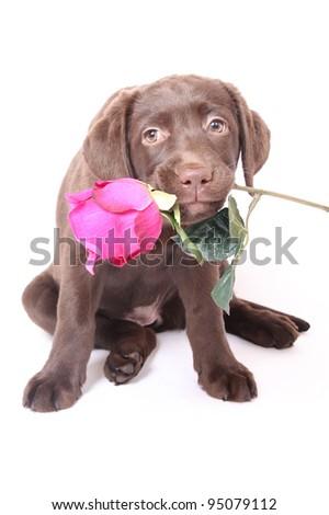 labrador puppy dog with rose