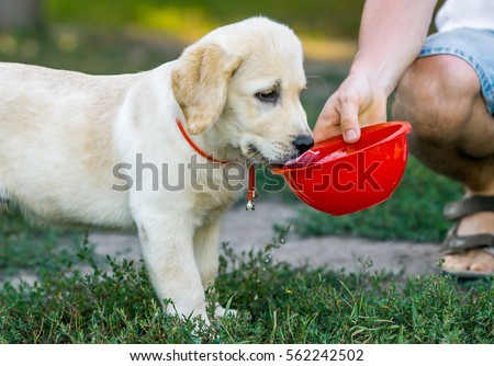 Labrador puppy drinking water from red bowls in the park in the summer, in the spring.