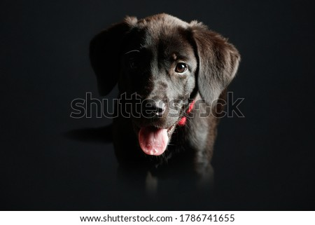 Labrador puppy in studio lighting and dark background with red collar Foto stock ©