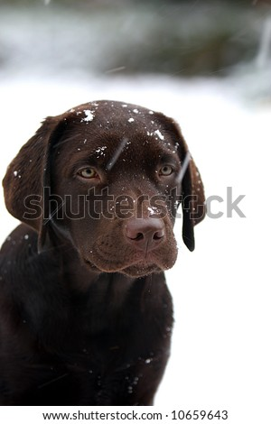 stock photo : Labrador Puppy in the Snow