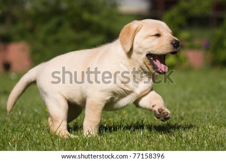 labrador puppy is walking over the lawn