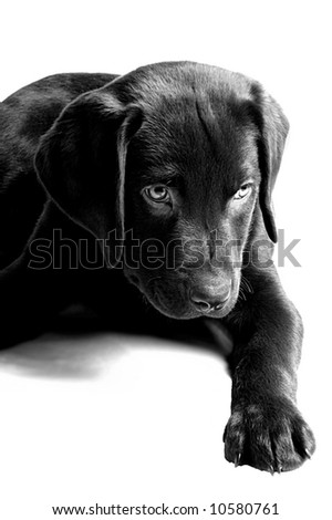 Labrador Puppy Looking Mischevious