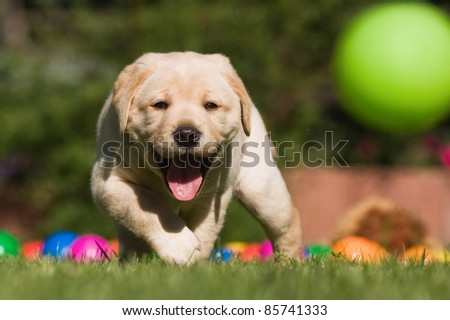 Labrador puppy running after a flying ball