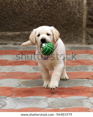 labrador puppy running with a green ball