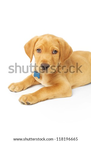 Labrador Puppy Sitting, Looking at Camera on White Backdrop