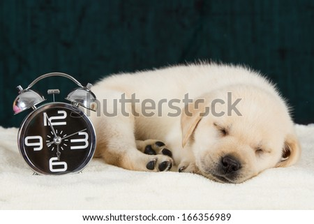 Labrador puppy sleeping on blanket with alarm clock ready to ring