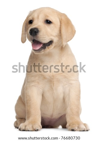 Labrador puppy, 7 weeks old, in front of white background