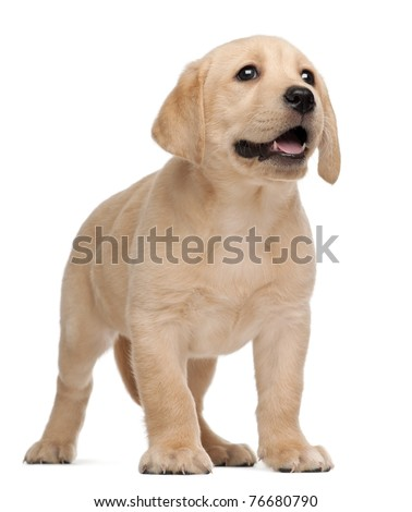 Labrador puppy, 7 weeks old, in front of white background - stock photo