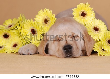 Labrador puppy with flowers