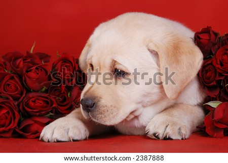Labrador puppy with roses