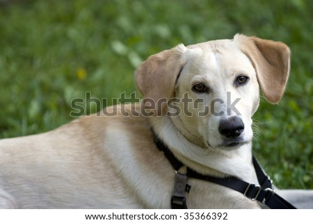 Labrador Retriever And Dachshund Mix, 8 Months Old Stock Photo ...