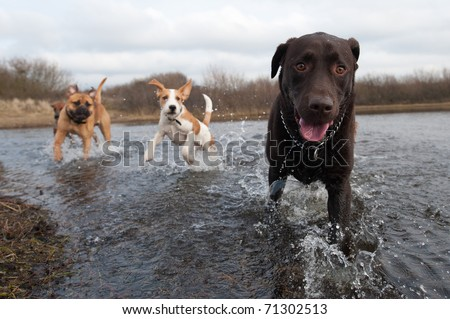 Labrador Retriever and friends having fun in the water #71302513