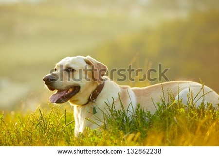 Labrador retriever at the sunrise - back lit