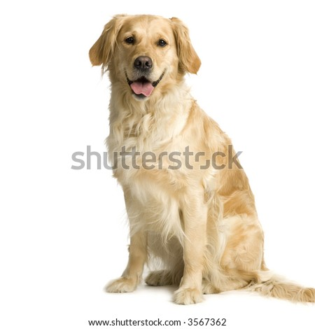 Labrador retriever cream in front of white background and facing the camera