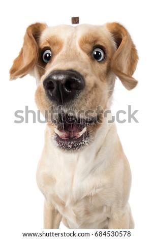 Labrador retriever dog catches funny laughing treat