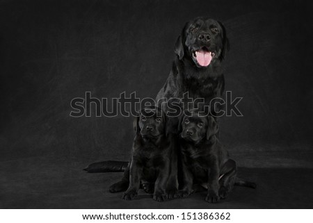 labrador retriever  dog looking away from the camera on white background