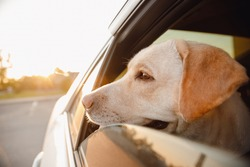 Labrador retriever Dog looks out car window sunset. Concept animal travel road trip.