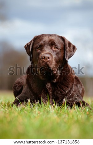 labrador retriever dog lying down on the grass