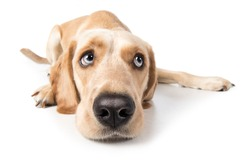 Labrador Retriever dog lying sadly lonely on floor peeking to the side