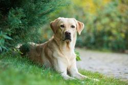 Labrador retriever dog lying under a tree
