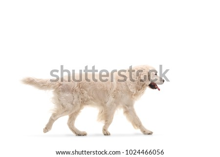 Labrador retriever dog walking isolated on white background