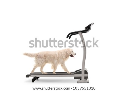 Labrador retriever dog walking on a treadmill isolated on white background