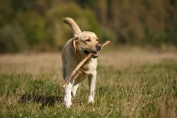labrador retriever dog walking outdoor in summer play with stick