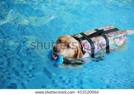 Labrador retriever dog wear life jacket hold toy in mouth swim in swimming pool, happy dog, dog activity, dog swimming, large breed dog #453520066