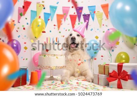 Labrador retriever dog with a birthday cake and a party hat