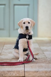 Labrador retriever Guide dog puppy
