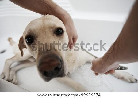 Labrador retriever in bath - selective focus